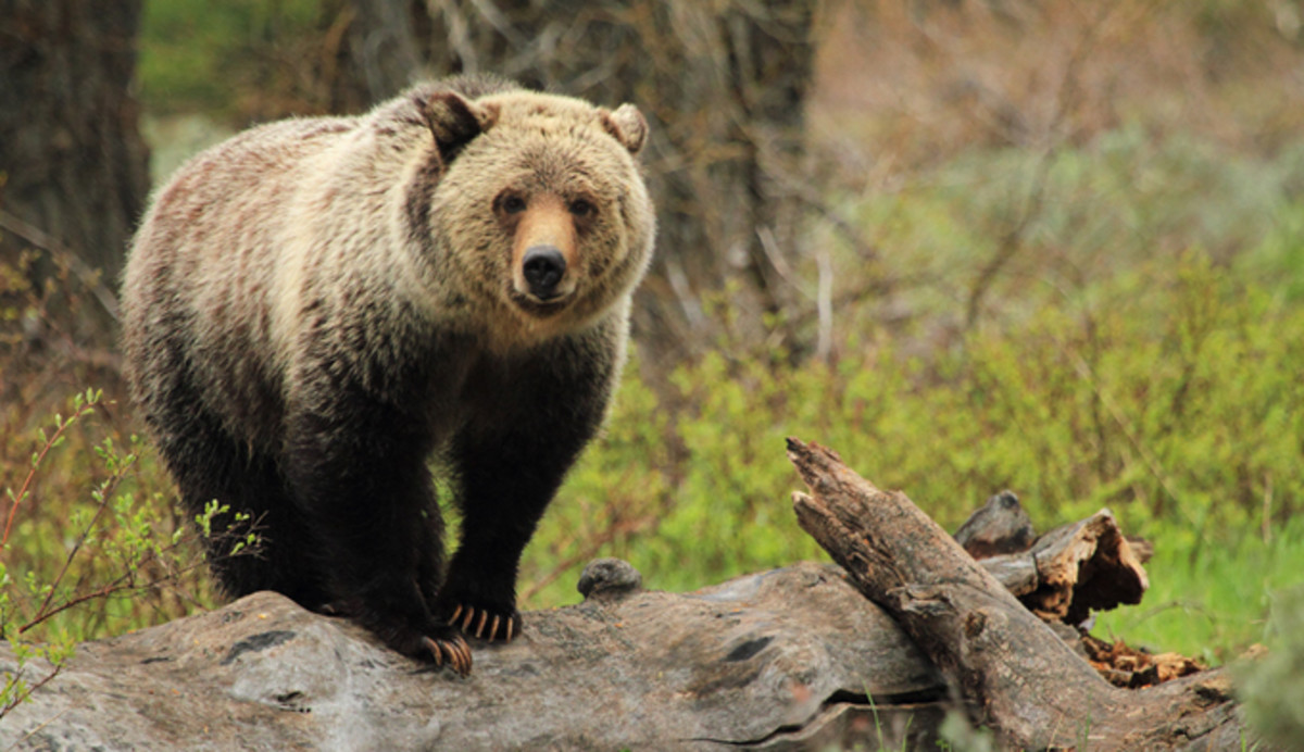 yellowstone-bear-grizzly-bp-reader
